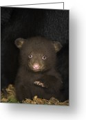 Black Bear Cubs Greeting Cards - Black Bear 7 Week Old Cub In Den Greeting Card by Suzi Eszterhas