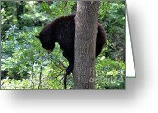 Black Bear Climbing Tree Greeting Cards - Black Bear balancing on Limb Greeting Card by Eva Thomas