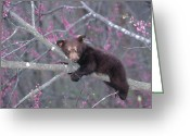 Black Bear Climbing Tree Greeting Cards - Black Bear Cub on Branch Greeting Card by Alan and Sandy Carey and Photo Researchers