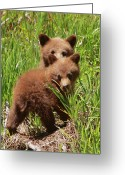 Black Bear Cubs Greeting Cards - Black Bear Cubs Greeting Card by Bruce J Robinson