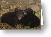 Black Bear Cubs Greeting Cards - Black Bear Cubs Playing In Den Greeting Card by Suzi Eszterhas