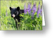 Lupines Greeting Cards - Black bear hiding behind lupines Greeting Card by Pierre Leclerc