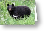 Hibernation Greeting Cards - Black Bear in the Dandelion Whistler Greeting Card by Pierre Leclerc