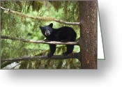 Carnivores Greeting Cards - Black Bear Ursus Americanus Cub In Tree Greeting Card by Matthias Breiter