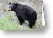 Hibernation Greeting Cards - Black Bear Whistler Mountain Greeting Card by Pierre Leclerc