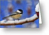 Noel Greeting Cards - Black-capped Chickadee in Sumac Greeting Card by Tony Beck