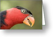 Captive Animals Greeting Cards - Black-capped Lory Lorius Lory, Captive Greeting Card by Tim Laman