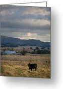 Rural Scenes Greeting Cards - Black Cow at Dusk Greeting Card by Peter Tellone