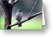 Titmouse Greeting Cards - Black-crested Titmouse  Greeting Card by Thomas R Fletcher