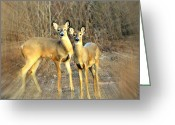 Marty Koch Greeting Cards - Black Ear Deer Greeting Card by Marty Koch