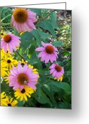 Schiabor Greeting Cards - Black Eye Susans and Echinacea Greeting Card by Eric  Schiabor