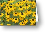 Black Eyed Susans Greeting Cards - Black-eyed Susans  Greeting Card by Janice Paige Chow