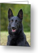 Alsatian Greeting Cards - Black German Shepherd Dog Greeting Card by Sandy Keeton