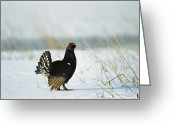 Tail Feather Greeting Cards - Black Grouse Tetrao Tetrix Greeting Card by Konrad Wothe