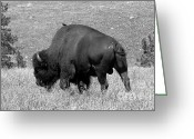 Buffalo Greeting Cards - Black Hills Bull Bison Greeting Card by Robert Frederick