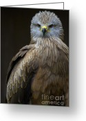 Black Kites Greeting Cards - Black Kite 2 Greeting Card by Heiko Koehrer-Wagner