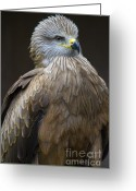 Black Kites Greeting Cards - Black Kite 4 Greeting Card by Heiko Koehrer-Wagner