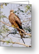 Black Kites Greeting Cards - Black Kite Greeting Card by Pravine Chester