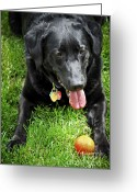 Friend Greeting Cards - Black lab dog with a ball Greeting Card by Elena Elisseeva