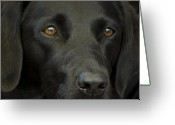 Claire Copley Greeting Cards - Black Labrador Dog Greeting Card by Pixie Copley