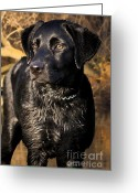 Friend Digital Art Greeting Cards - Black Labrador Retriever Dog Greeting Card by Cathy  Beharriell