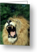 Endangered Species Greeting Cards - Black-maned Male African Lion Yawning, Headshot, Africa Greeting Card by Tom Brakefield