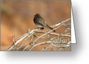 Phobes Greeting Cards - Black Phoebe . 7D11008 Greeting Card by Wingsdomain Art and Photography