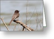 Phobes Greeting Cards - Black Phoebe Greeting Card by Wingsdomain Art and Photography