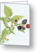 Wall Art Drawings Greeting Cards - Black Raspberries Greeting Card by Scott Bennett