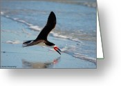Tern Greeting Cards - Black Skimmer Greeting Card by Barbara Bowen
