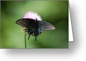 Susan Stevens Crosby Greeting Cards - Black Swallowtail in Macro Greeting Card by Susan Stevens Crosby