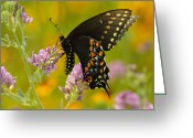 Pollinate Greeting Cards - Black Swallowtail Greeting Card by Robert Frederick
