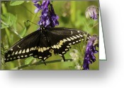 Swallow Tail Butterfly Greeting Cards - Black Swallowtail Greeting Card by Thomas Young