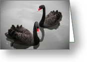 Swimming Photo Greeting Cards - Black Swan Greeting Card by Bert Kaufmann Photography