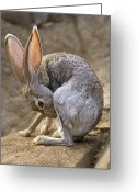 Jackrabbit Greeting Cards - Black-tailed Jackrabbit Lepus Greeting Card by Joel Sartore