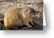 Dirty Dog Greeting Cards - Black Tailed Prairie Dog Cynomys ludovicianus Greeting Card by Sally Rockefeller