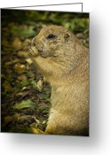Prairie Dog Greeting Cards - Black-tailed Prairie Dog Flips The Bird Greeting Card by Bill Tiepelman