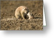 Prairie Dog Greeting Cards - Black-tailed Prairie Dogs In Eastern Greeting Card by Joel Sartore