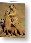 Prairie Dog Greeting Cards - Black-tailed Prairie Dogs Greeting Card by Tony Beck