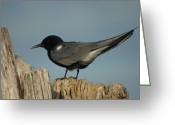 Tern Greeting Cards - Black Tern Greeting Card by Melissa Peterson
