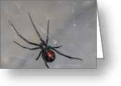 Depth Of Field Greeting Cards - Black Widow Spider Greeting Card by Scott McGuire
