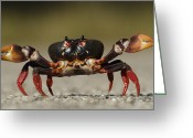 Zapata Greeting Cards - Blackback Land Crab Gecarcinus Greeting Card by Pete Oxford