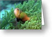 Sea Anemones Greeting Cards - Blackfoot Anemonefish Greeting Card by Sami Sarkis