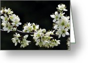 Flower Blossom Greeting Cards - Blackthorn Blossom Greeting Card by Colin Varndell