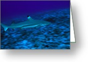 French Polynesia Greeting Cards - Blacktip Reef Shark, Carcharhinus Greeting Card by Tim Laman