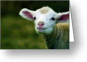 Livestock Greeting Cards - Bleating Lamb Greeting Card by Photo by Alan Shapiro