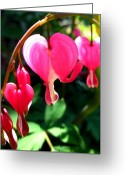 Temperament Photo Greeting Cards - Bleeding Heart Greeting Card by Brittany H