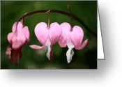 Beautiful Flowers Greeting Cards - Bleeding Hearts Greeting Card by Tracie Kaska