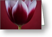 Red Photographs Mixed Media Greeting Cards - Bliss - Red Square Tulip Macro Flower Photograph Greeting Card by Artecco Fine Art Photography - Photograph by Nadja Drieling
