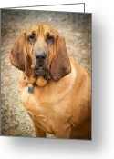 Drool Greeting Cards - Blood Hound Greeting Card by Joye Ardyn Durham
